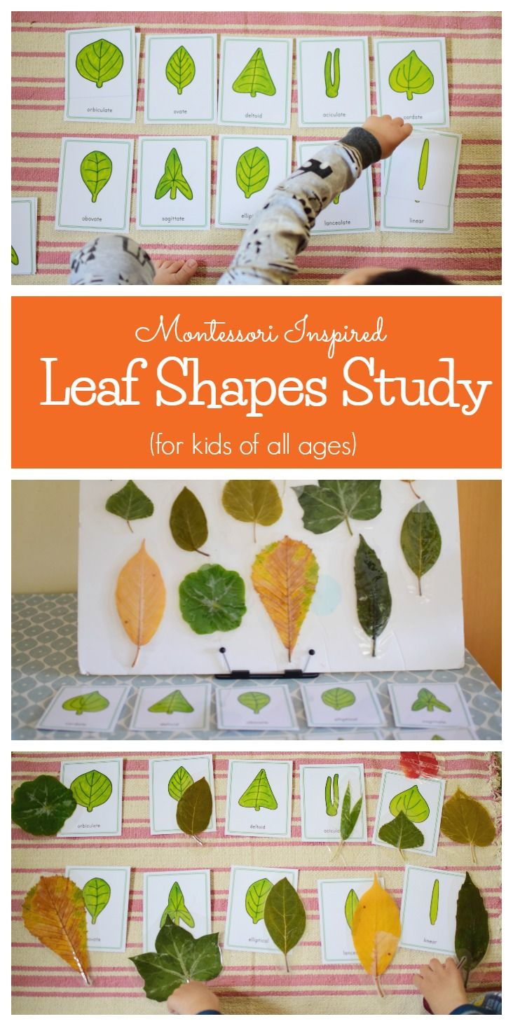 Our Leaf Shapes Study | Kindergarten Ideas | Leaves